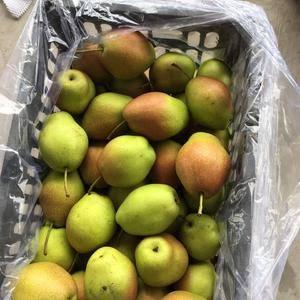 陕西大荔冷库红香酥梨大量出库了,需要的客户联系17789...