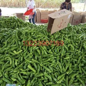 夏邑301青椒,线椒大量上市了,有需要的老板可联系132...