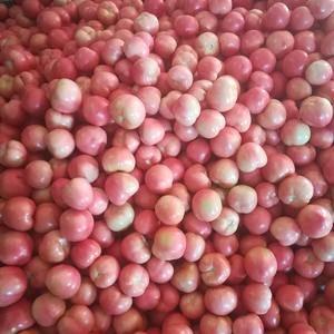 辽宁阜新硬粉西红柿大量上市