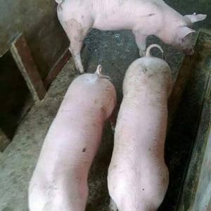 良种三元仔猪、二元母猪出售,三佳苗猪繁殖场热忱欢迎需要补...