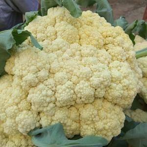 山东肥城是雪玉,雪宝白菜花主要产地,每年盛产雪宝等品种白...