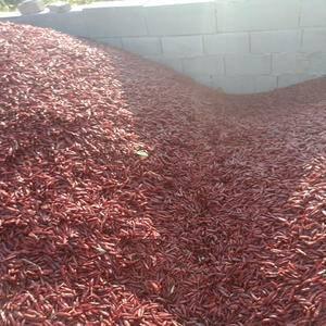 三英干辣椒大量上市15563773767