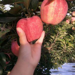 红星苹果13053901319