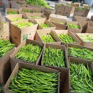 蒲城大棚线椒大量上市,品质好,鲜度,耐运输。货源充足,价...