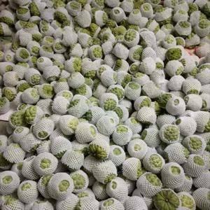 海南三亚释迦果园开始采摘了,口感如冰沙,甜而不腻,好好吃...