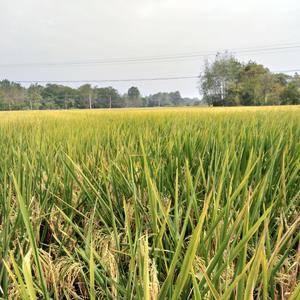 今年的农家稻谷马上要收割了,不打农药,绿色有机水稻,接受...