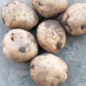 吉林扶余!杠二,红薯九,大量上市了,我这是土豆产区,量大...