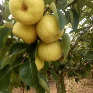 砀山酥梨,质量保证,风险共担