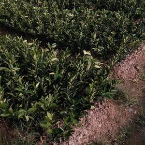纽荷尔脐橙果苗
