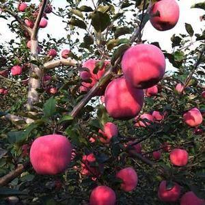 陕西大荔县大量供应膜袋、纸加膜袋、纸袋富士苹果,质量杠杠...