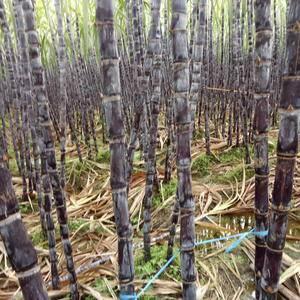 广西省龙州县逐卜乡现有大量黑皮甘蔗上市,有需要的老板赶紧...