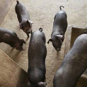 生态放养首选良种黑仔猪出售,质量保证,量大从优,欢迎需要...