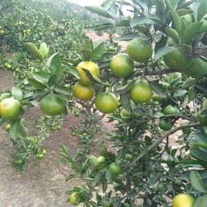 湖南常德澧县大量普早橘子上市,欢迎全国水果商家前来收购