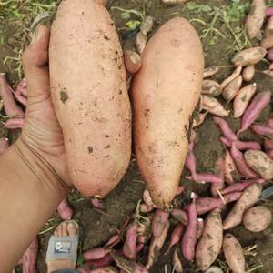 本地长年供应多个品种的加工薯,商品薯,欢迎全国各地客商前...