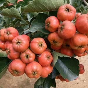 沂蒙山正宗山楂,品种多多,自家种植。甜红子、大绵球、歪把...