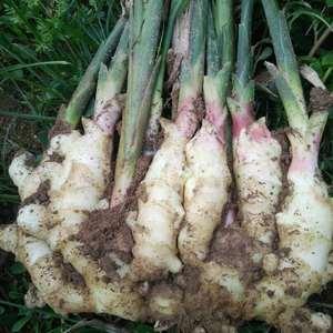 山东潍坊昌乐是优质大姜生产区,种植面积广,长期种植大棚姜...