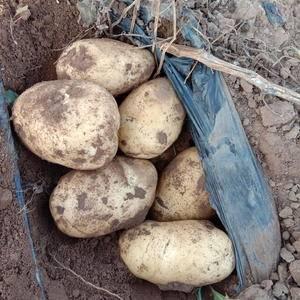 226土豆三百亩准备开挖有需要的老板联系