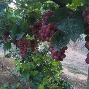 红提葡萄,浇深井水,施农家肥,天然上色,果粒硬度高。正在...