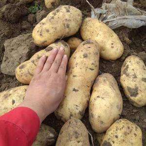 自己种的土豆,品种有尤金885,河兰系列,延薯四,外形美...
