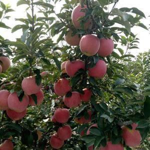 山东苹果产地(红富士)现已大量上市有(纸袋)(膜袋)颜色...