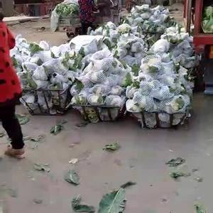 有机花菜大量上市中,品种白面青梗,品质好,服务优,欢迎前...