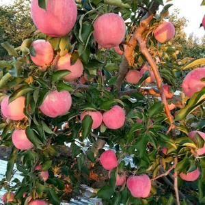 本地有万亩寒富士苹果
