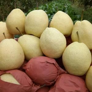 酥梨要的联系自己种的