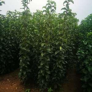 20万株秋月梨苗热卖预定中,有多种规格,现挖现卖,保成活...