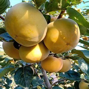 阳丰甜柿现已大量上市,联系电话13935948797
