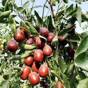 2018年新若羌灰枣,产地直供,一手货源,一件代发,量大...