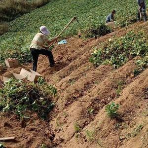 卢龙山坡地自家种植,腾飞红薯,口感甘甜,绿色无公害,手工...