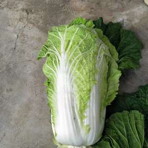 山东省平度市大白菜。