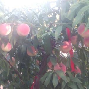 山东青岛莱西市金秋红蜜桃子大量上市了!需要的客商抓紧联系...