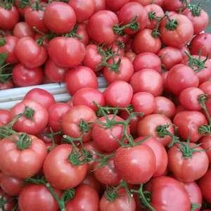 山东临沂市费县西红柿大量供应!西红柿品种主要有硬粉,挪威...