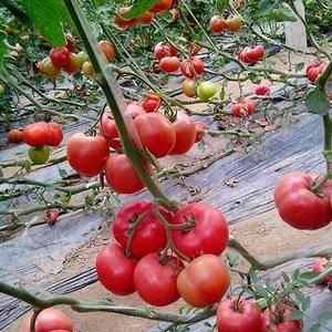 西红柿品种主要有:硬粉,挪威608、 金鹏系列、粉钻等。...