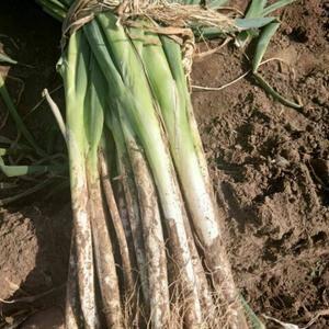 本人常年在辽中地区代收大葱,本人以最低价格。最好质量。绝...