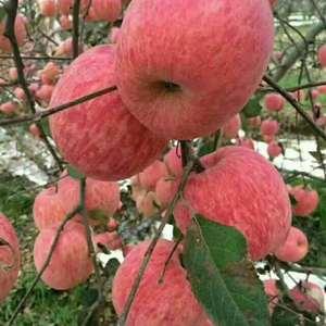 陕西大荔县苹果大量供应,纸袋膜袋红富士,水晶苹果,质量好...