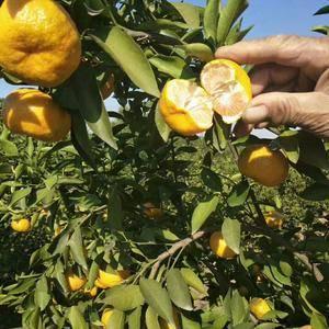 新余蜜桔,统货1.3果经0.45-0.6
