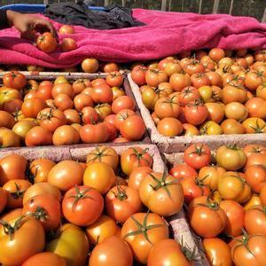 大量供应西红柿