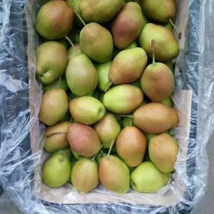 陕西红香酥梨批发基地,另供应膜袋,纸加膜,纸袋红富士苹果...