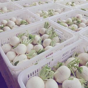 球形白萝卜,单个重三两至八两,品质嫩,脆。上货量大。