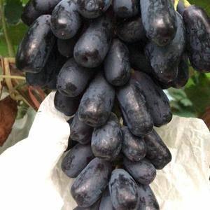 供甜蜜蓝宝石葡萄苗。
