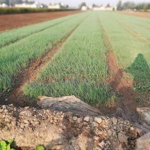 出售优质洋葱苗,品种是二红半高壮,品种好产量高。