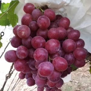 陕西大荔红提葡萄大量供应中,颗粒大,颜色红,甜度高!串行...