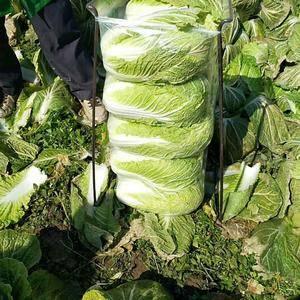 湖北晶玉蔬菜联社,常年有白菜,萝卜,娃娃菜,包菜,甘蓝等...