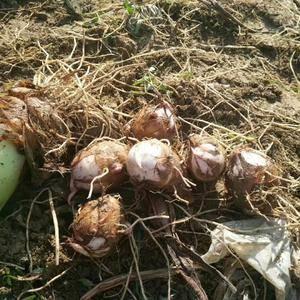 中国红芽芋之乡江西铅山县紫溪红芽芋