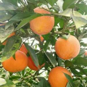 宜昌蜜橘柑橘纽荷尔长虹脐橙大量供货中