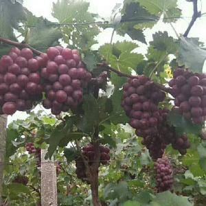 大量库存葡萄 现在开始出售 联系电话 152272661...