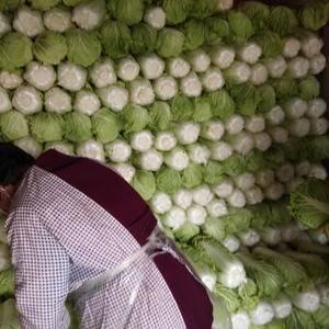 北京三号白菜大量上市,质量好,价格实惠