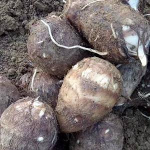 滕州毛芋头大量出售中,大球,中球,小球。好的孬的通货都有...